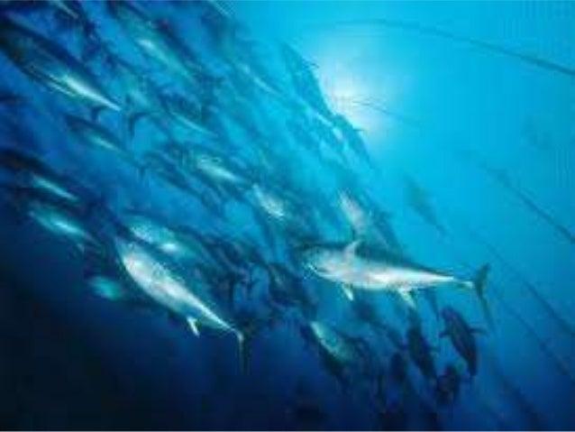  La pesca en el Perú es una actividad muy antigua que lo realizaron en primera instancia los antiguos peruanos .Las grand...