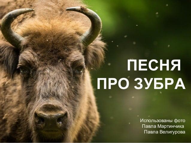 ПЕСНЯ ПРО ЗУБРА Использованы фото Павла Мартинчика Павла Велигурова