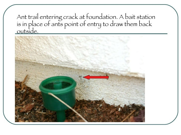 Ant trail entering crack at foundation. A bait station is in place of ants point of entry to draw them back outside.