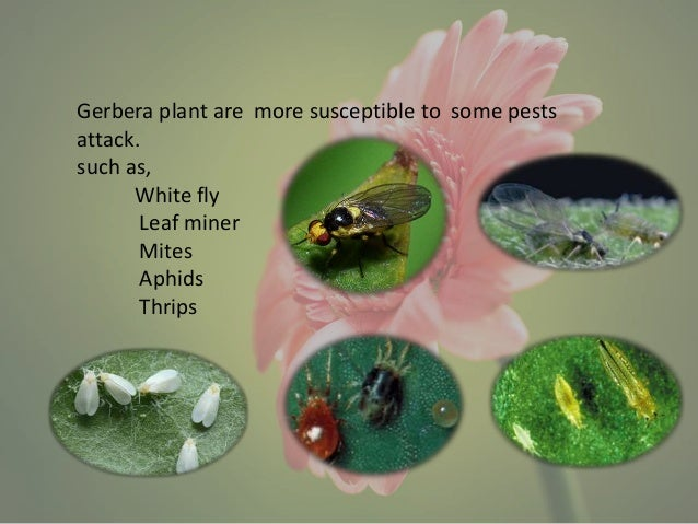 Pests of gerbera