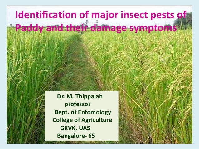 Identification of major insect pests of Paddy and their damage symptoms Dr. M. Thippaiah professor Dept. of Entomology Col...