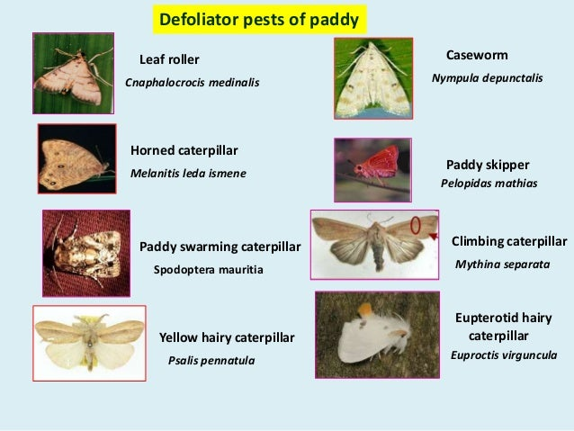 Pests Of Paddy 1
