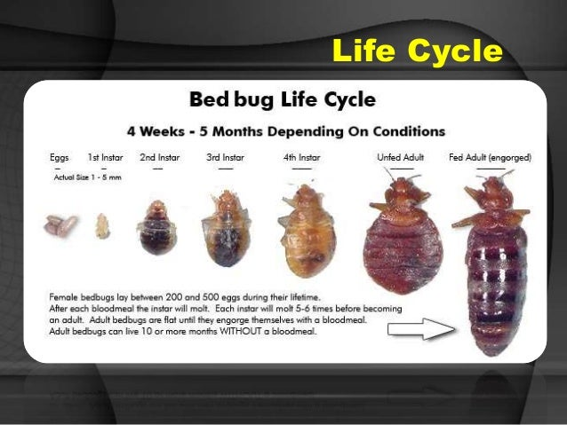 Bed bugs and scabies