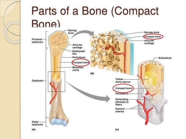 51 Bone
