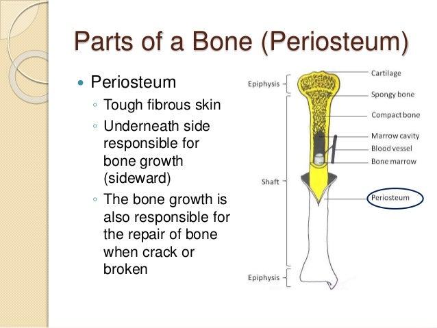 5.1 bone, Human Body