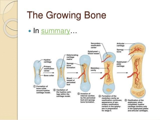5 3 Bone Growth