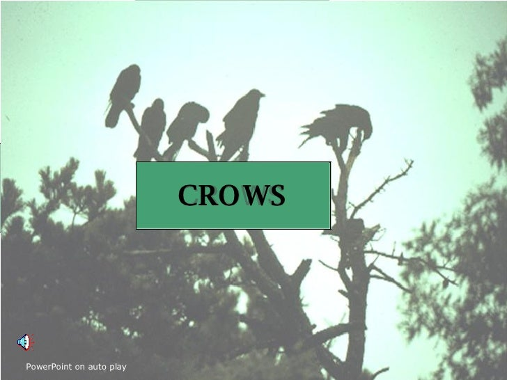CROWS  at Island Glades CROWS CROWS PowerPoint on auto play
