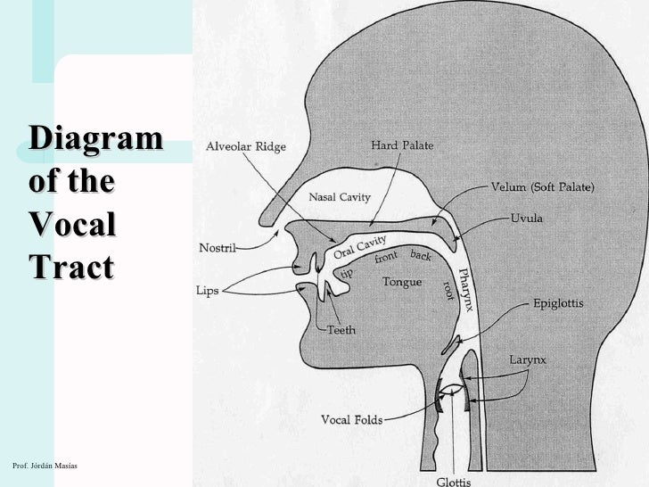 Ph1 speech organs 2010 diagram of the vocal tract ccuart Gallery