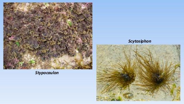 Phaeophyta