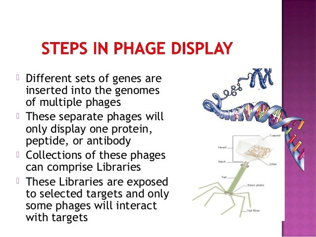 phage display 503 phage display of combinatorial antibody libraries christoph rader and carlos f barbas ill the selection of antibodies from combinatorial libraries.