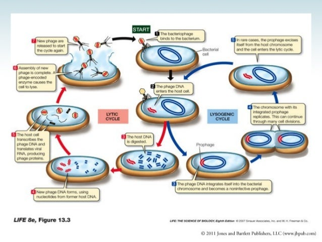 Phage stratagies