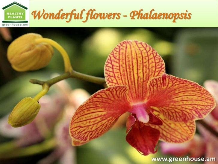 Wonderful flowers - Phalaenopsis                        www.greenhouse.am