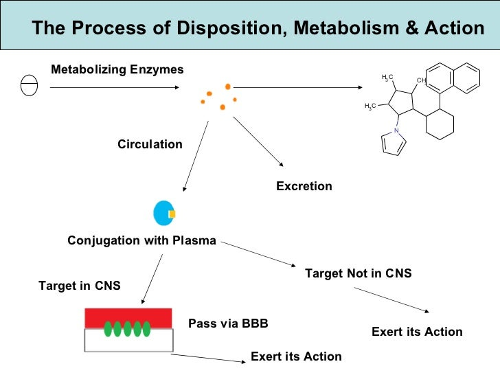 The Process of Disposition, Metabolism & Action Metabolizing Enzymes Circulation Excretion Conjugation with Plasma Target ...