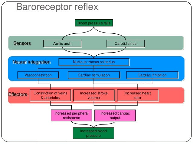 the baroreceptor reflex and the diving reflex The bainbridge reflex and the baroreceptor reflex control heart rate the baroreceptor reflex can correct for a change in arterial pressure by increasing or decreasing heart rate the baroreceptor reflex can correct for a change in arterial pressure by increasing or decreasing heart rate.