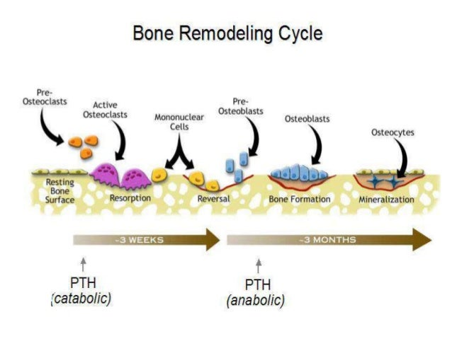 how bone remodeling plays an important part in osteocytes osteoblasts and osteoclasts Bone tissue part 1- marissa tissue and the role each component plays in bone physiology and remodeling they are osteocytes, osteoblasts, osteoclasts.