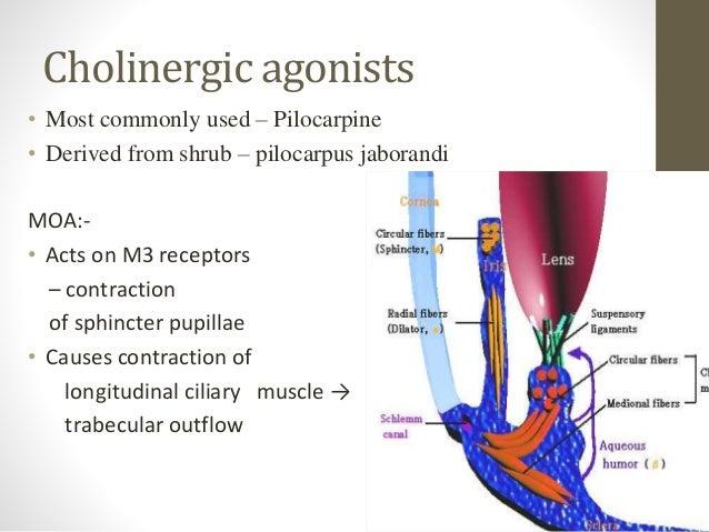 Cholinergic agonists • Most commonly used – Pilocarpine • Derived from shrub – pilocarpus jaborandi MOA:- • Acts on M3 rec...