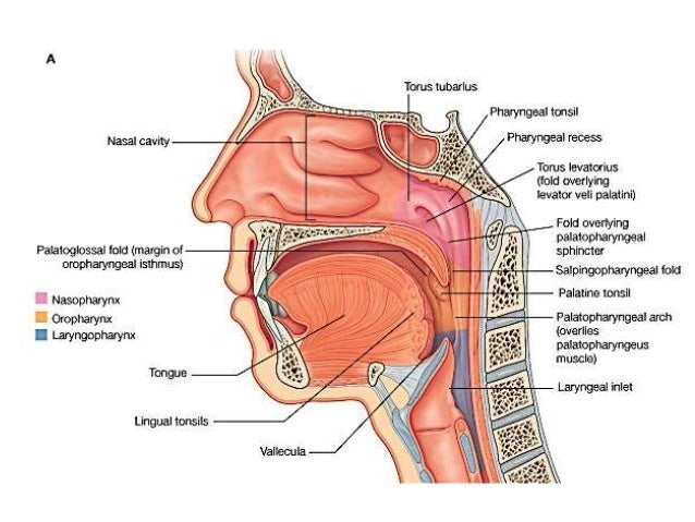 Mouth Pharynx 103