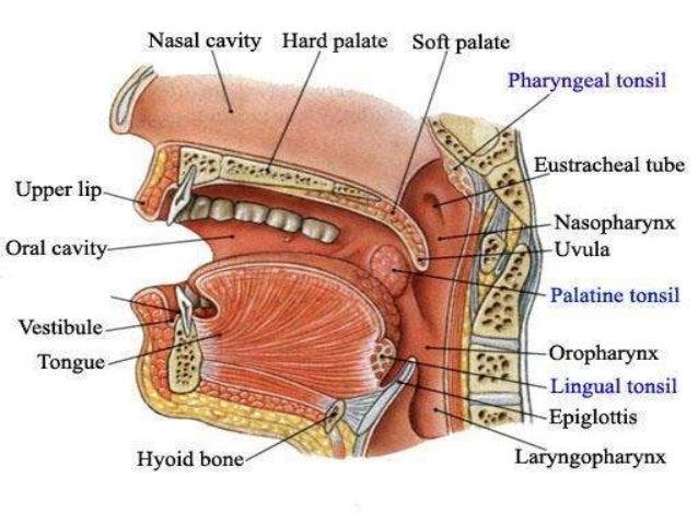 Pharynx ANATOMY AND PHYSIOLOGY