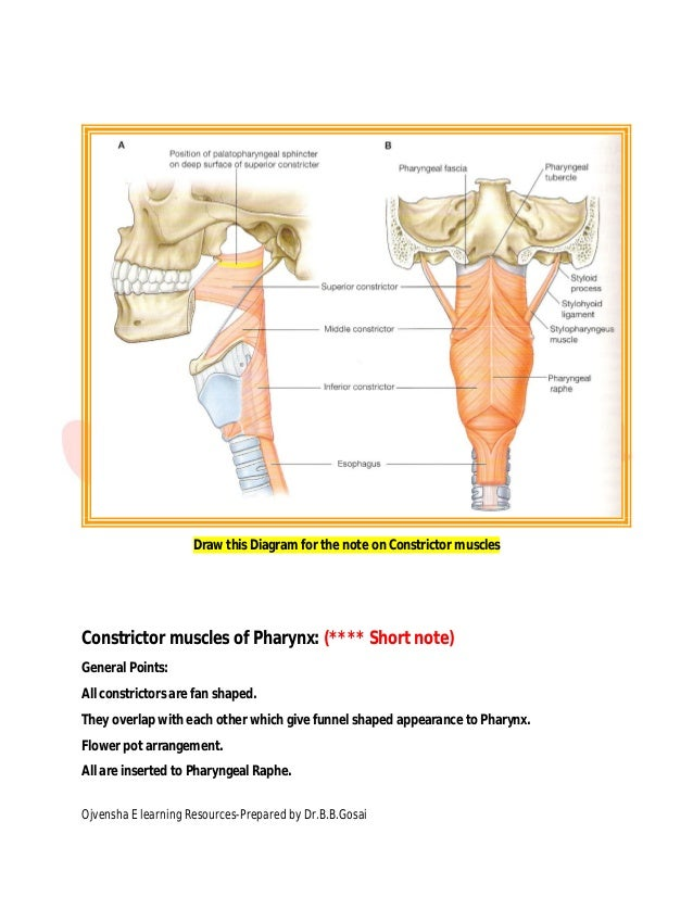 pharynx dr gosai Diagram of Lungs and Throat 6 draw this diagram