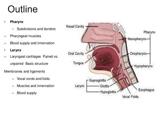 Anatomy of Pharynx & Larynx