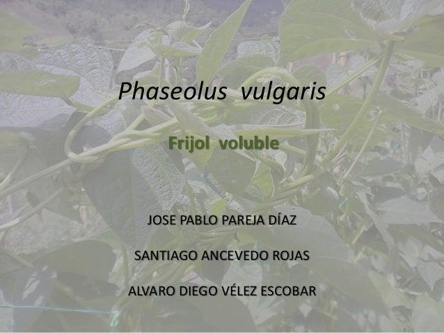 Phaseolus vulgaris     Frijol voluble  JOSE PABLO PAREJA DÍAZ SANTIAGO ANCEVEDO ROJASALVARO DIEGO VÉLEZ ESCOBAR