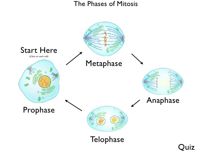 Mitosis phases selol ink phases of mitosis ccuart Images