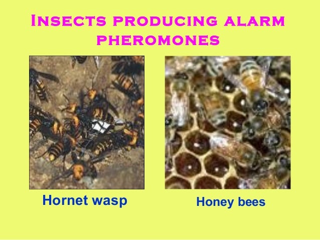 sex pheromones in insects Insects have several types of pheromones in their body which means that insects have certain exocrine glands in body whereby the pheromones are released they release different pheromones depending on their purpose as it is represented on the picture below.
