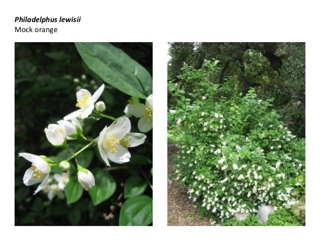 Philadelphus lewisii Mock orange