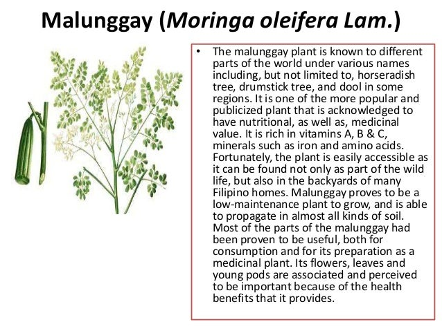 The efficacy of malunggay leaves decoction