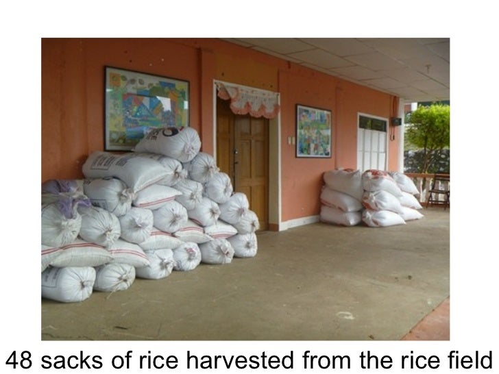 48 sacks of rice harvested from the rice field