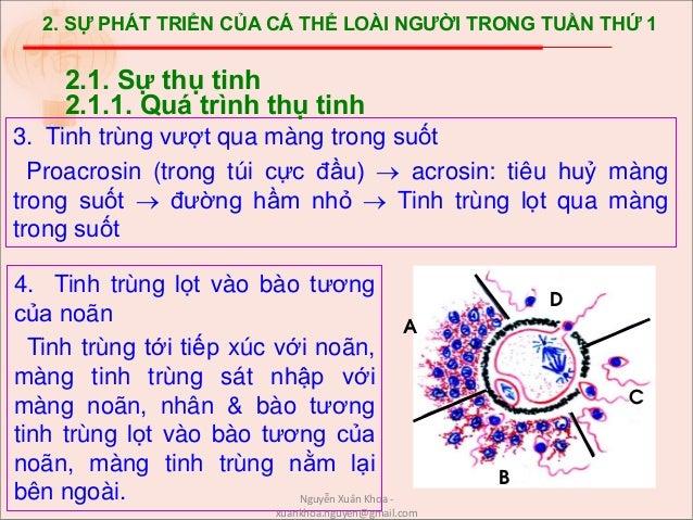 2. SỰ PHÁT TRIỂN CỦA CÁ THỂ LOÀI NGƯỜI TRONG TUẦN THỨ 1 3. Tinh trùng vượt qua màng trong suốt Proacrosin (trong túi cực đ...