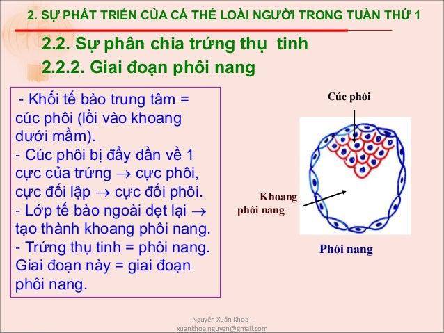 2. SỰ PHÁT TRIỂN CỦA CÁ THỂ LOÀI NGƯỜI TRONG TUẦN THỨ 1 - Khối tế bào trung tâm = cúc phôi (lồi vào khoang dưới mầm). - Cú...