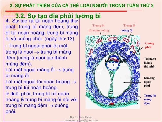 3. SỰ PHÁT TRIỂN CỦA CÁ THỂ LOÀI NGƯỜI TRONG TUẦN THỨ 2 4. Sự tạo ra túi noãn hoàng thứ phát, trung bì màng đệm, trung bì ...
