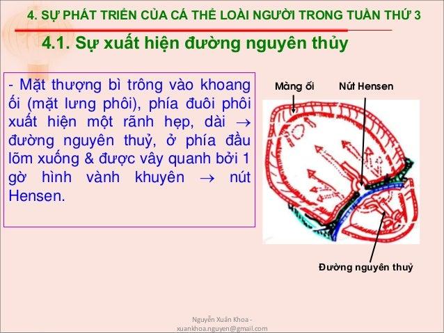 4. SỰ PHÁT TRIỂN CỦA CÁ THỂ LOÀI NGƯỜI TRONG TUẦN THỨ 3 - Mặt thượng bì trông vào khoang ối (mặt lưng phôi), phía đuôi phô...