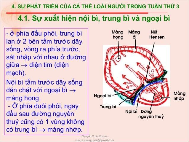 4. SỰ PHÁT TRIỂN CỦA CÁ THỂ LOÀI NGƯỜI TRONG TUẦN THỨ 3 - ở phía đầu phôi, trung bì lan ở 2 bên tấm trước dây sống, vòng r...