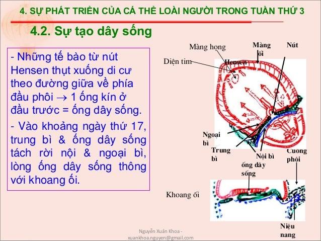 4. SỰ PHÁT TRIỂN CỦA CÁ THỂ LOÀI NGƯỜI TRONG TUẦN THỨ 3 - Những tế bào từ nút Hensen thụt xuống di cư theo đường giữa về p...