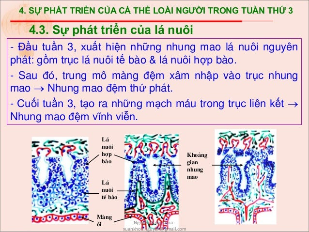 4. SỰ PHÁT TRIỂN CỦA CÁ THỂ LOÀI NGƯỜI TRONG TUẦN THỨ 3 - Đầu tuần 3, xuất hiện những nhung mao lá nuôi nguyên phát: gồm t...
