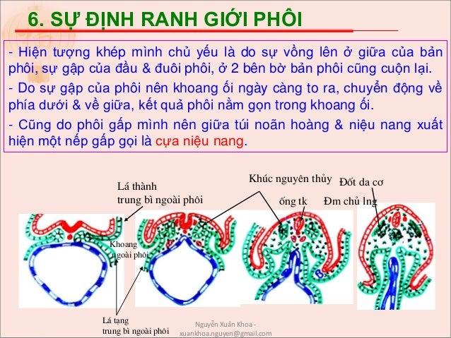 6. SỰ ĐỊNH RANH GIỚI PHÔI - Hiện tượng khép mình chủ yếu là do sự vồng lên ở giữa của bản phôi, sự gập của đầu & đuôi phôi...