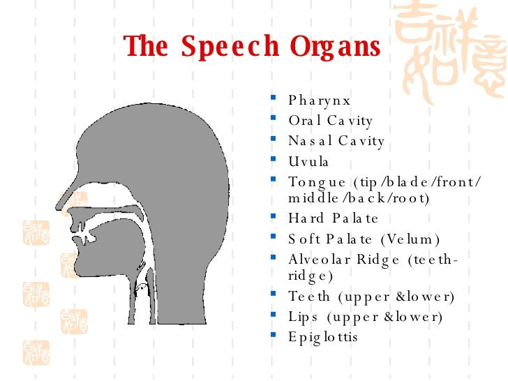 Phonetics and phonology 6 the speech organs ccuart Choice Image