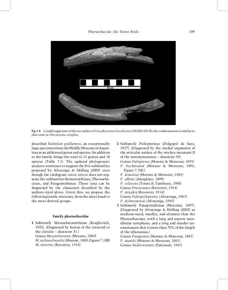 Phorusrhacids: the Terror Birds                                        199Fig. 7.9 Caudal segments of the two pubes of Par...