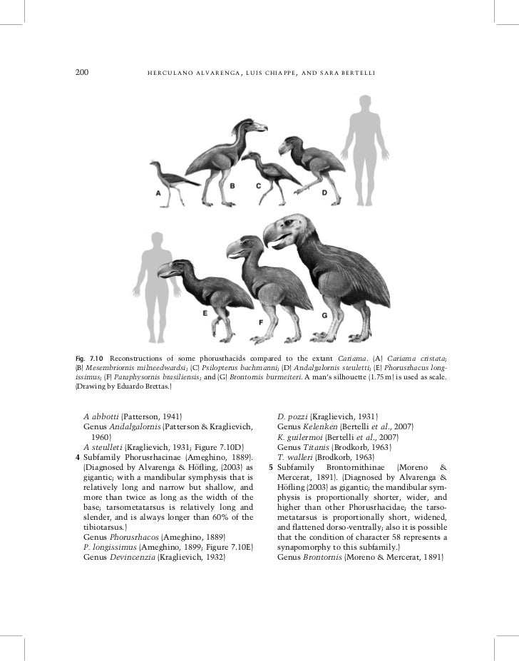 200                   HERCULANO ALVARENGA, LUIS CHIAPPE, AND SARA BERTELLIFig. 7.10 Reconstructions of some phorusrhacids ...