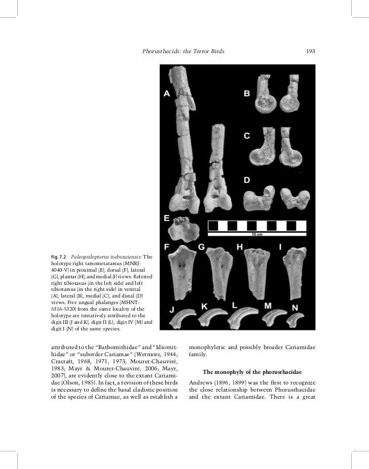 Phorusrhacids: the Terror Birds                             193Fig. 7.2 Paleopsilopterus itaboraiensis: Theholotype right ...