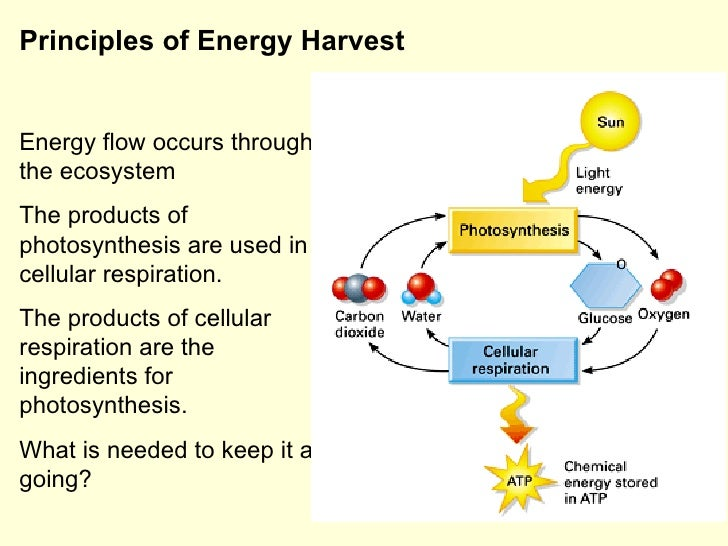 respiration photosynthesis cellular energy flow ecosystem through occurs slideshare