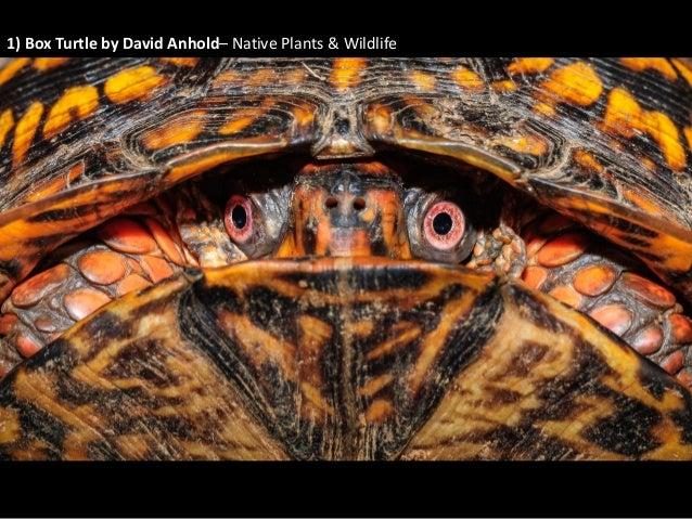 1) Box Turtle by David Anhold– Native Plants & Wildlife