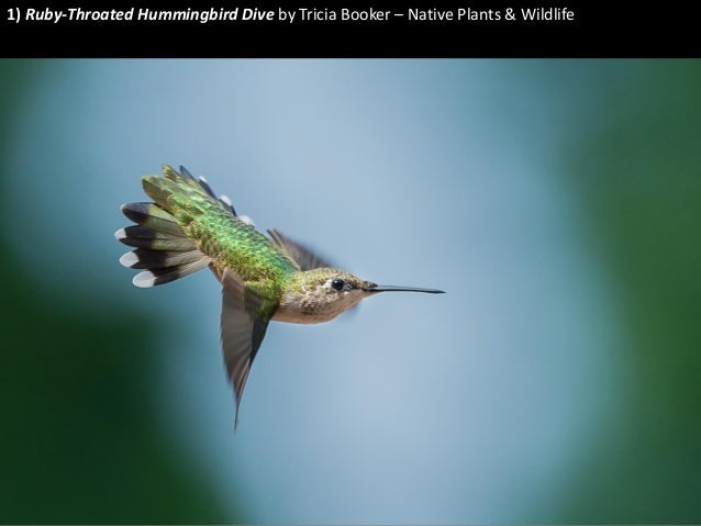 1) Ruby-Throated Hummingbird Dive by Tricia Booker – Native Plants & Wildlife