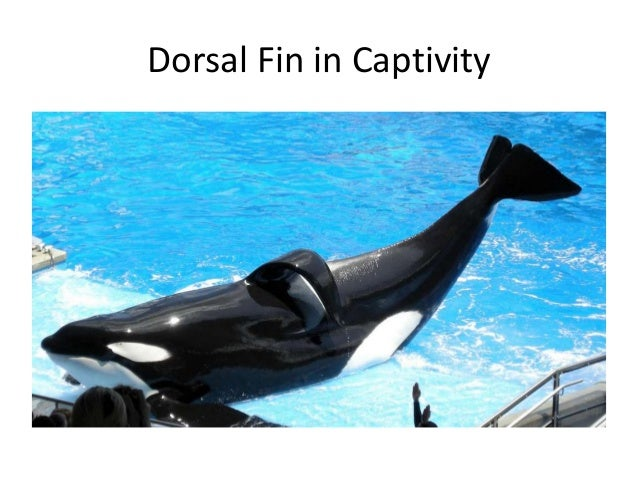 Captivity of Killer Whales