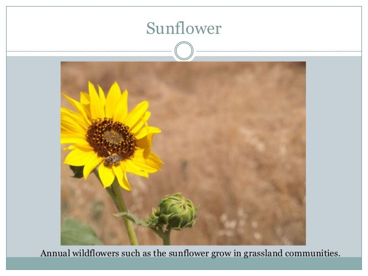 Sunflower thesis