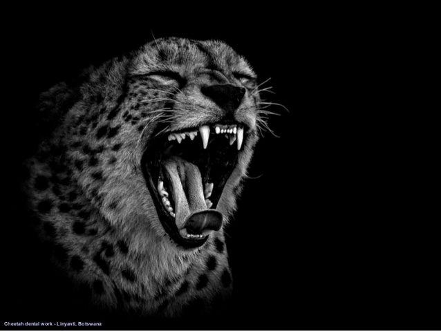 Leopard portrait central kalahari botswana