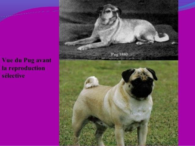 Vue du Pug avant la reproduction sélective