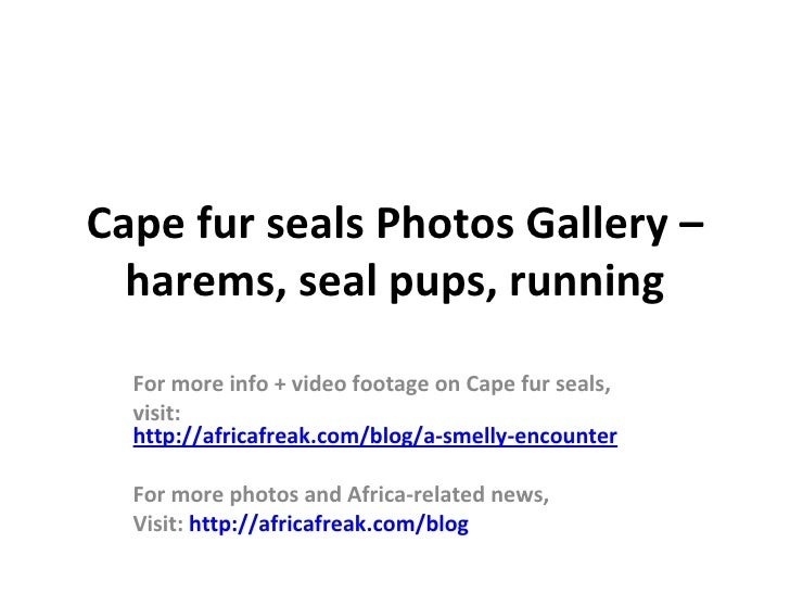 Cape fur seals Photos Gallery –  harems, seal pups, running  For more info + video footage on Cape fur seals,  visit:  htt...